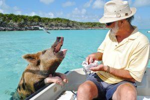 pigs in bahamas for honeymooners