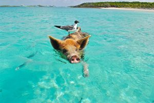 pigs swim in the bahamas