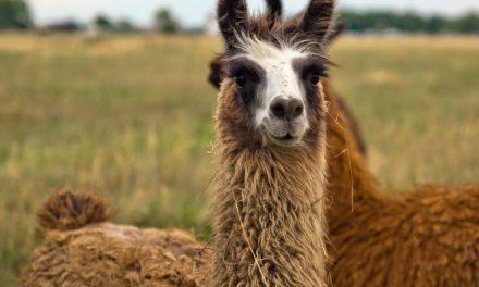 llama vs alpaca vs vicuna vs guanaco