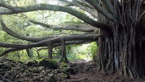 banyan tree in maui