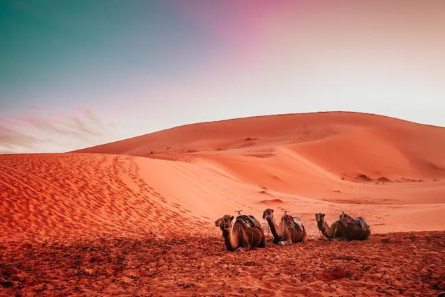 Morocco dessert camels