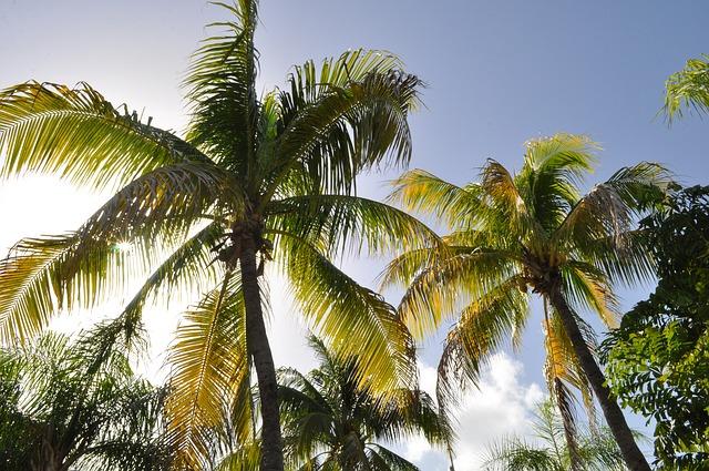 coconut trees in dominican republic